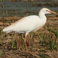 1614 Bubulcus ibis_esplugabous.jpg